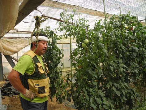 トマト栽培の話